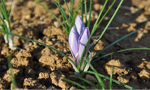 fleur-safran-reduit