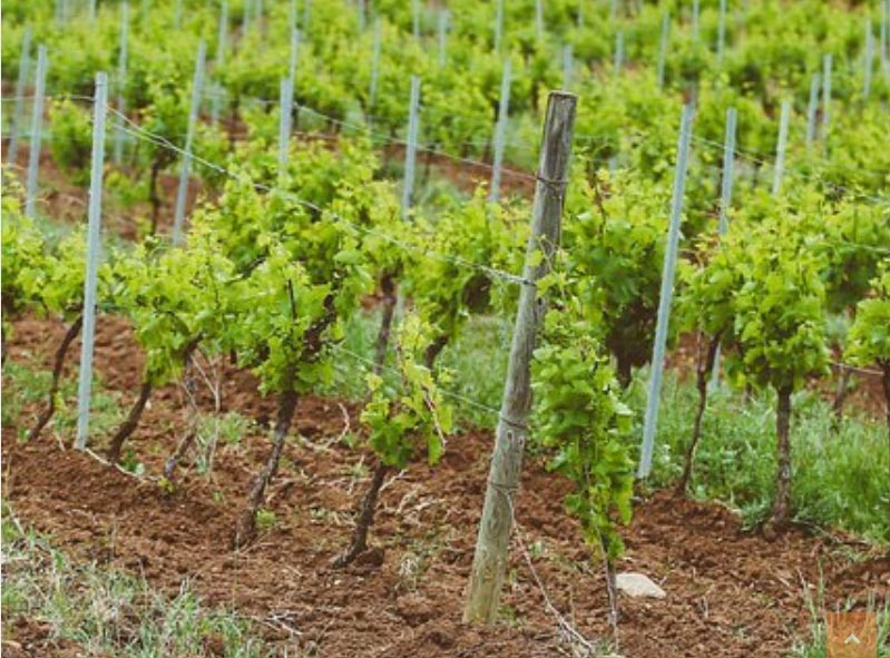 Vignes Abbaye de Valmagne